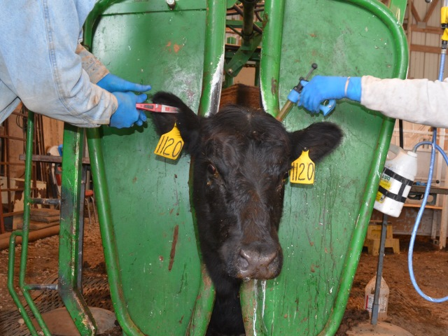 Cow being vaccinated