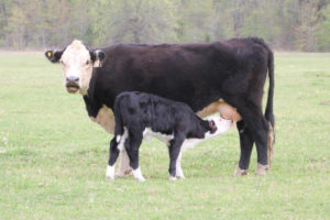 Cover photo for Bull Management Is Essential for Cow / Calf Beef Operations