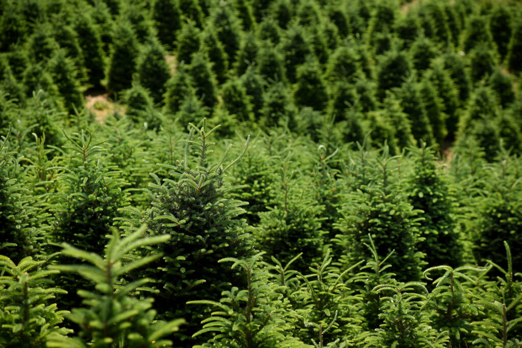 Image of Christmas tree farm in Watauga County NC.