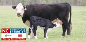 Cover photo for Monitoring Body Condition of the Beef Herd in Late Summer