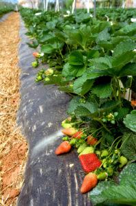 Image of ripe strawberries growing on black plastic in a high tunnel.
